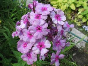 Сад флоранс о себе и саде мой сад
