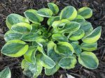 hosta, хоста Frosted Mouse Ears