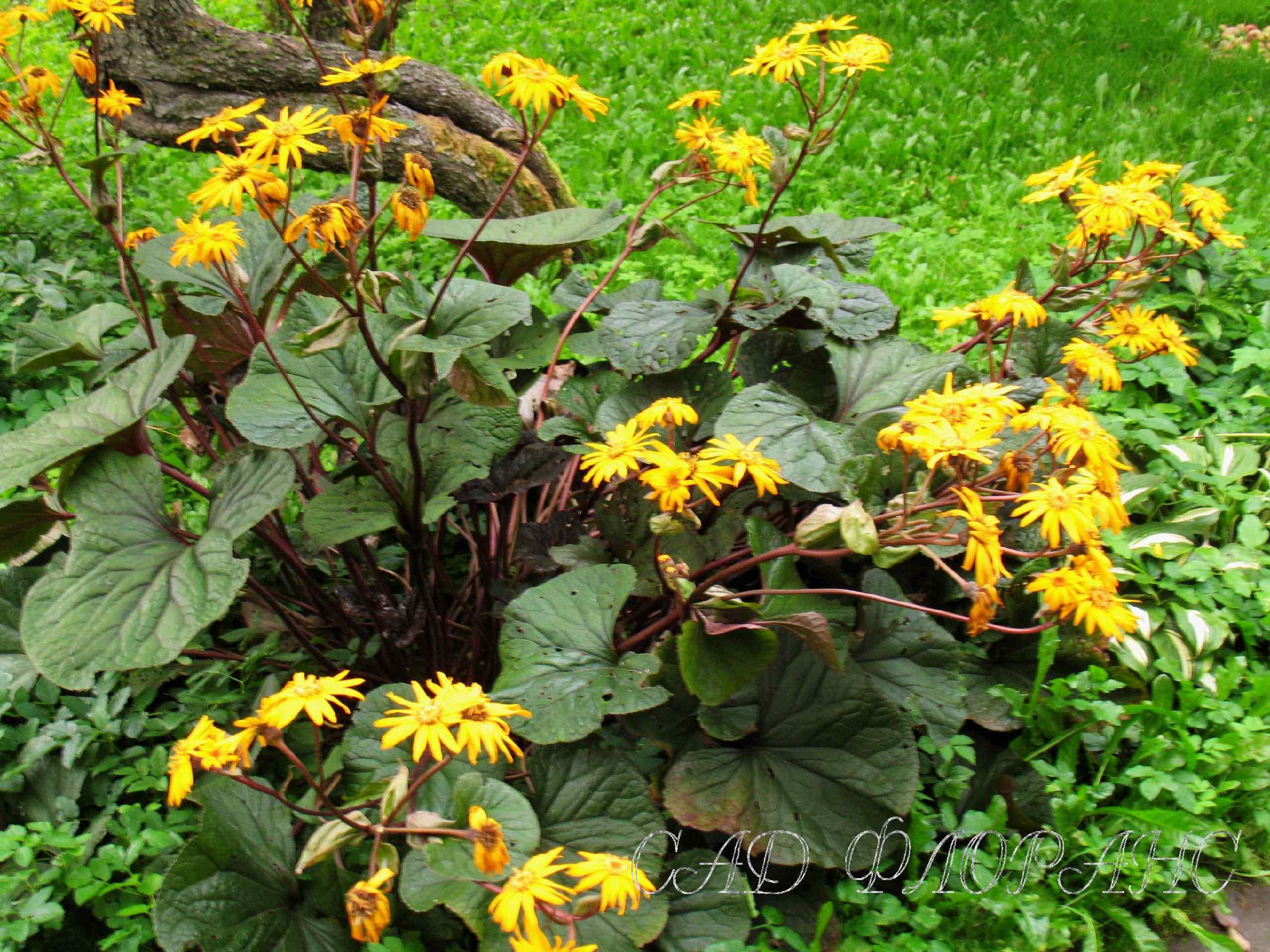 Бузульник зубчатый цветок фото