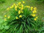 hemerocallis, daylily, лилейник, гемерокалис Lilioasphodelus