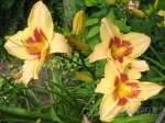 hemerocallis, daylily, лилейник, гемерокалис Right On