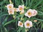 hemerocallis, daylily, лилейник, гемерокалис Siloam Dream Baby