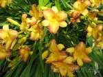 hemerocallis, daylily, лилейник, гемерокалис Winnie The Pooh