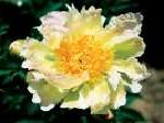 paeonia, пион Green Lotus