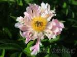 paeonia, пион Pink Spritzer