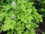 tiarella, тиарелла Jeepers Creepers
