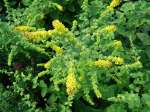 solidago, золотарник Golden Fleece